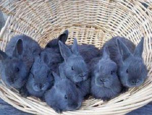 Pentru o litieră, femelele pot aduce 8-9 iepuri