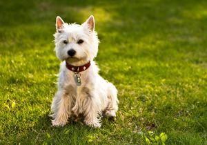 Cum arată un câine ca un terrier alb de munte?