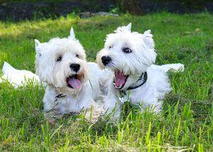 Datele exterioare ale terrierului alb de câine vest de mare