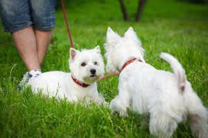 West Highland Terrier alb