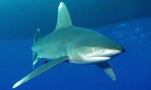 Rechin cu rechin lung