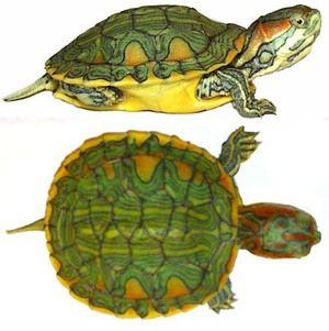 Tipuri și trăsături ale broaștelor de țestoase