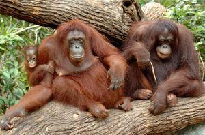 Tipuri de maimuțe cu nume, caracteristici ale fiecărei rase