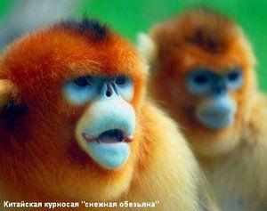 Caracteristicile raselor de maimuțe
