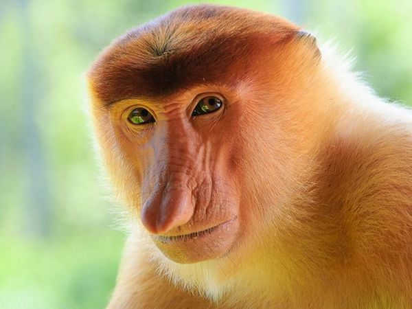 Maimuță nostită