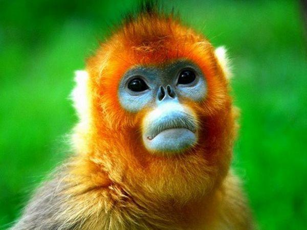 Maimuțele se înghit