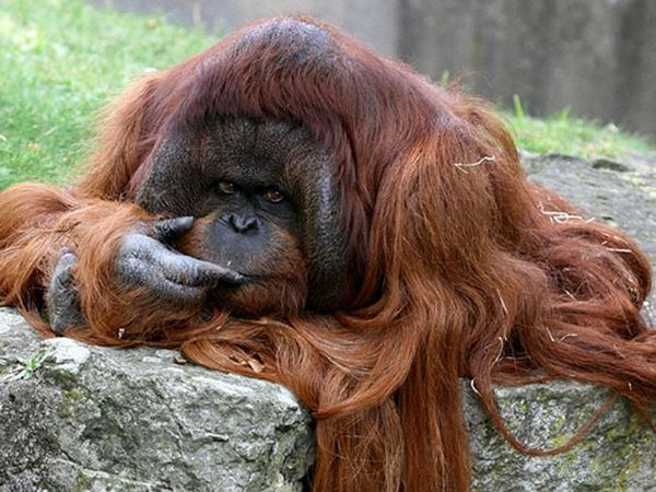 Kalimantan Orangutan