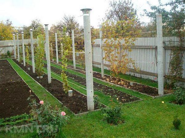 Cum să plantați strugurii în mod corect