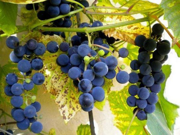 Descriere Isabella Grapes