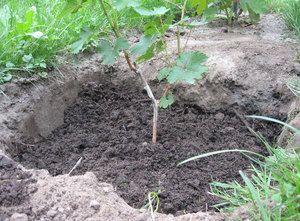 Sfaturi pentru plantarea strugurilor