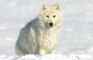 Informații interesante despre lupul polar