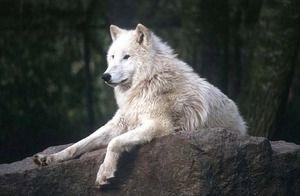Informații interesante despre lupii polari