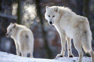 O turmă de lupi polari
