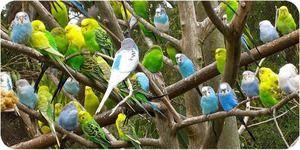 Cum să ai grijă de un papagal ondulat