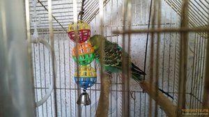 Durata de viață a unui papagal ondulat