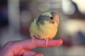 Pui de papagal