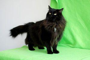 Pisicuța neagră