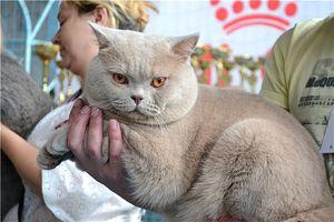 Pisica britanică în vârful vieții