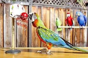 Capacitatea de a vorbi papagalii