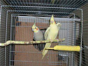 Papagalii cu smocuri