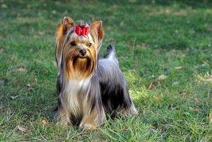 Totul despre Yorkshire Terriers: descriere, natură, conținut și îngrijire
