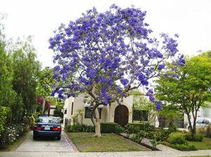 Cultivarea unui copac violet