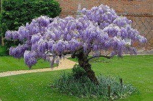 Descrierea speciei de violet