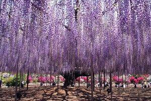 Soiuri de violet