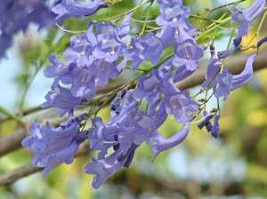 Blossom copac Jacaranda mimosa