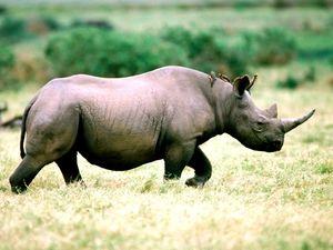 Culoarea rinocerilor negri