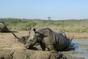 Negru rinoceroză
