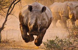 Rinocerii îngroșați