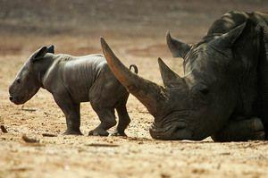 Rinocer de rasa neagra cu pui
