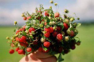 Strângeți căpșunile într-un vis