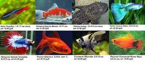 Peștii care sunt considerați vivipari