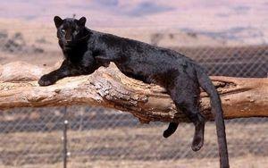 Descrierea panterului negru
