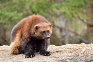 Wolverine: unde și cum trăiește bestia fără frică și reproș