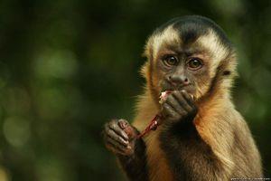 Un fel de maimuțe capucin - trăsături distinctive