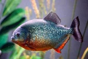 Piranha de pește - hsschniki mic