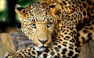 Leopardul în America de Sud - un mod de viață