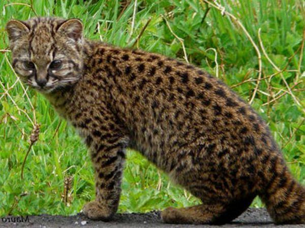 Pisica chiliană - habitat și obiceiuri