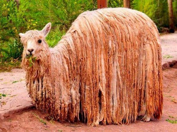 Animalele din America de Sud - alpaca