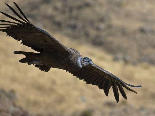 Andean Condor - zborul unui prădător