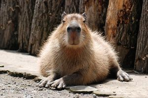 Capybara - animale uimitoare din America de Sud