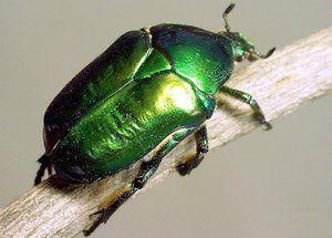 Beetle bronzovka: trăsături, larve și răni ale unui gândac verde