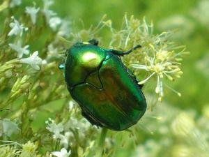Reproducerea gândacului de gandaci