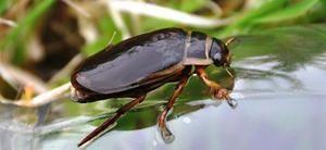 Beetles sunt flounder: în cazul în care trăiesc și de ce se hranesc