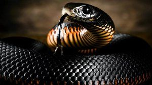 Snake mamba negru: stilul de viață și habitat