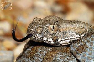 Snake gyurza - un mod de viață, nutriție, reproducere - gyurzy otrăvitoare
