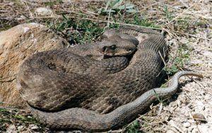Poison în gigantul șarpelui